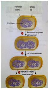 Mitosis Dan Meiosis Part1 Mitosis Hanya Sebuah Tulisan