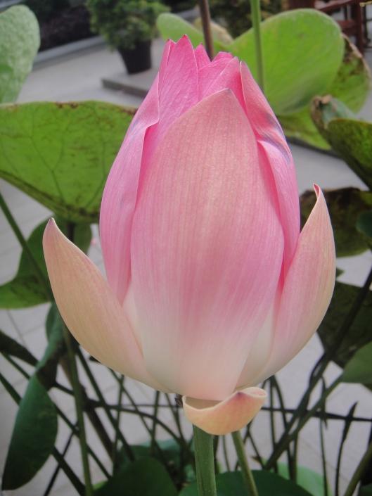 lotus https://katahatimutiara.wordpress.com