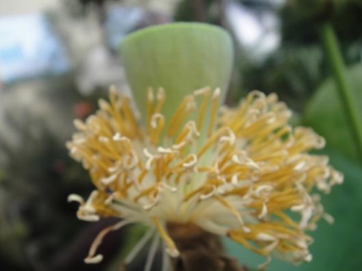 lotus yang sudah gugur