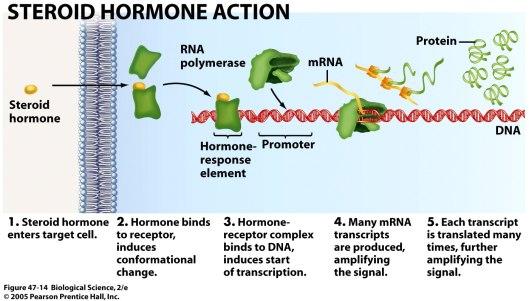 Steroid hormon